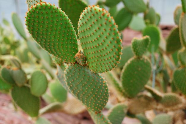 Piante di cactus di fioritura nel parco del deserto