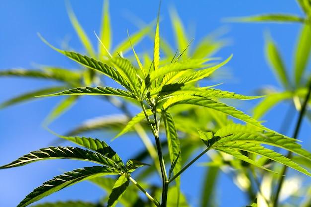 Piante di cannabis sul campo con cielo blu