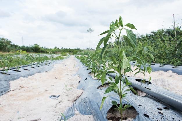 Piante di peperone verde in giardino