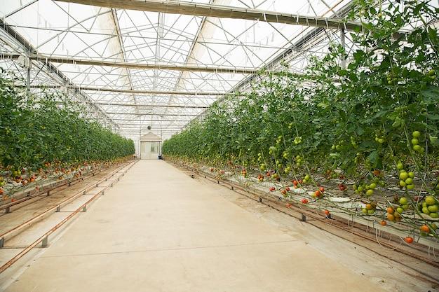 Piante di pomodori dentro una serra.