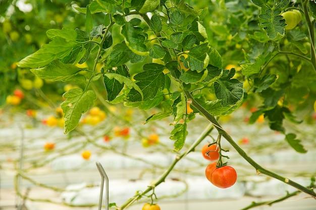 Piante di pomodori variopinte che crescono dentro una serra, fucilazione vicina.