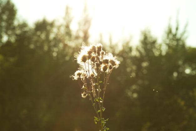 Piante e fiori ingialliti e secchi trovati in natura in autunno. solce lancia un bagliore su un fiore secco.