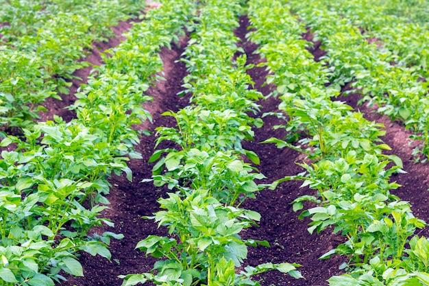 Piante giovani di patate. righe di patata verde in un campo. retroilluminazione, luce solare su foglie verdi. sfondo naturale