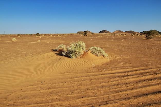 Piante nel deserto del sahara in sudan