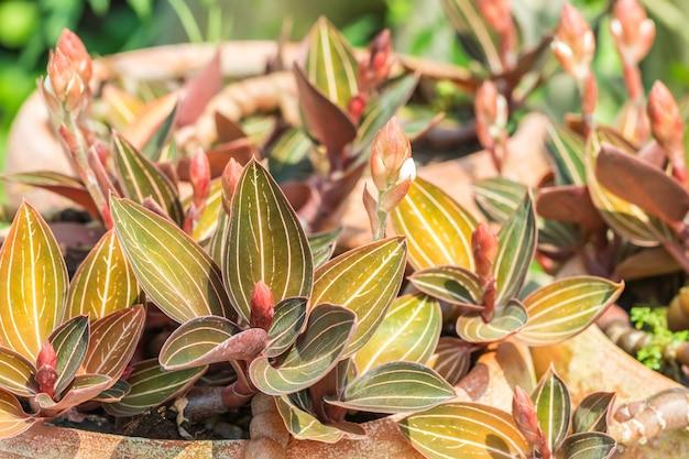 Piante ornamentali, jewel orchid-ludisia scoloriscono e boccioli, piantati su vasi di terracotta.