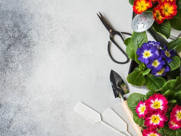 Piantine di fiori primule multicolore e vari attrezzi da giardino su uno sfondo grigio.