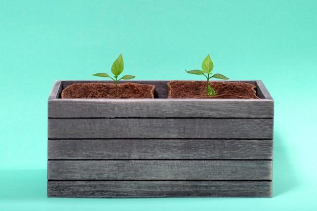 Piantine di peperone dolce in vasi di torba e in una scatola di legno su uno sfondo turchese