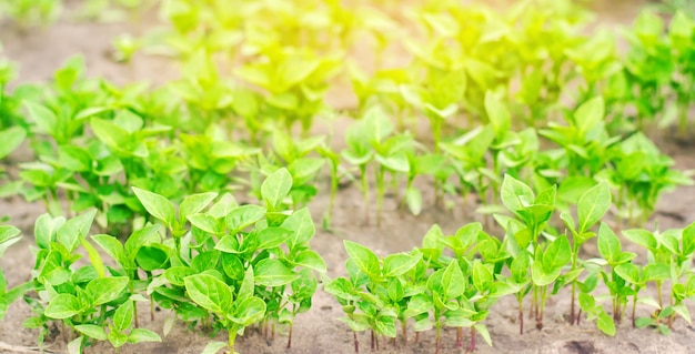 Piantine di peperone verde in serra
