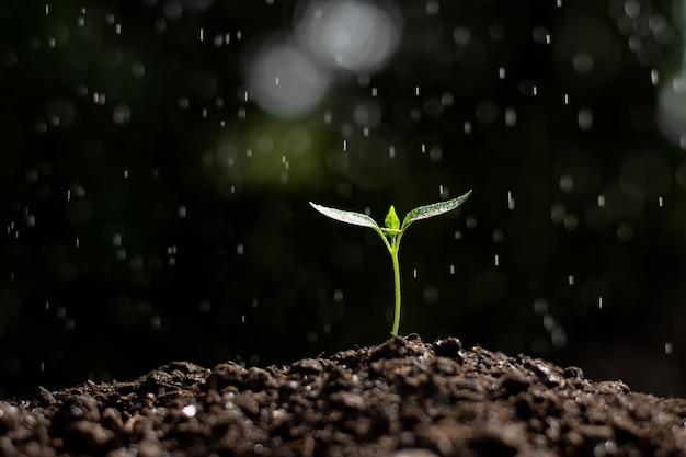 Piantine di peperoni crescono dal terreno.