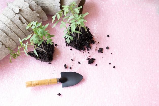 Piantine di pomodoro a casa, vaso di torba per piantare piante