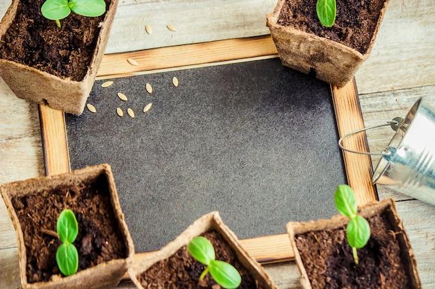 Piantine in tazze. messa a fuoco selettiva piante naturali