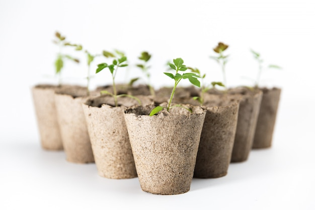 Piantine verdi del pomodoro in vasi biodegradabili isolati su fondo bianco