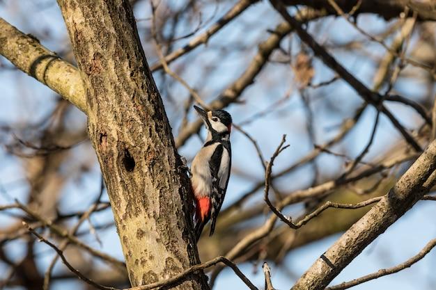 Picchio rosso maggiore, dendrocopos major, uccello maschio seduto su un tronco d'albero in primavera