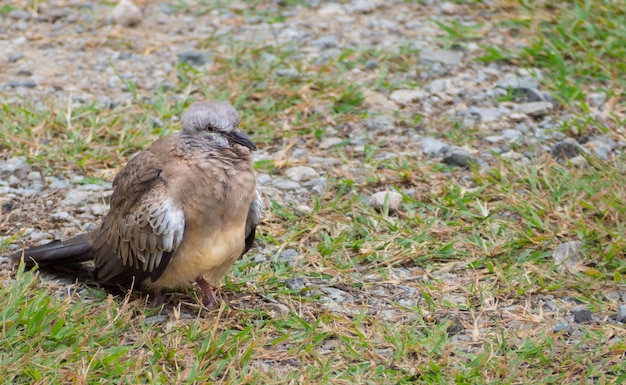 Piccione o colomba uccello in piedi sul pavimento