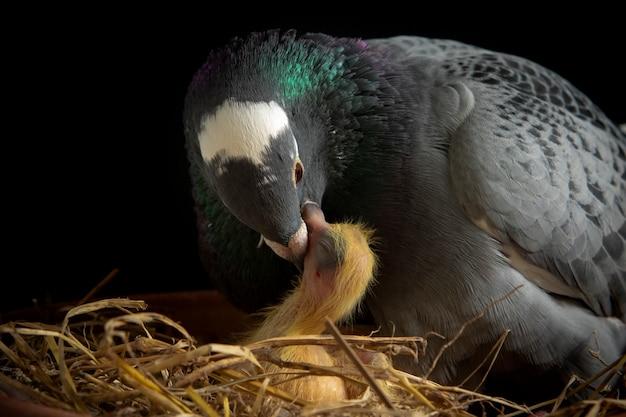 Piccione viaggiatore che alimenta il latte del raccolto all'uccello appena nato