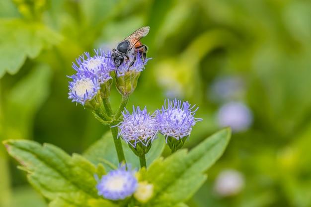 Piccola ape sul fiore viola