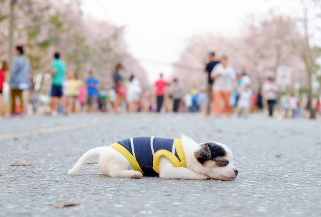 Piccola chihuahua del cane bianco che dorme sulla strada