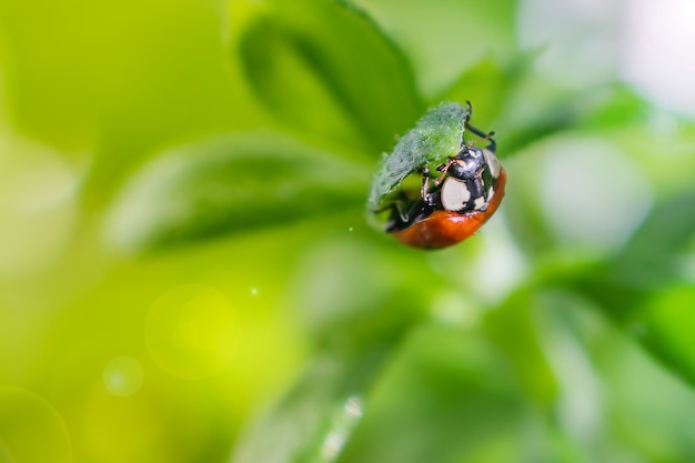 Piccola coccinella su una foglia verde in pieno sole con riflessi.