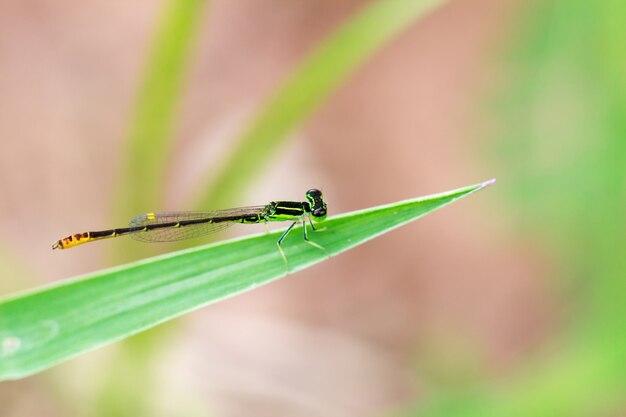 Piccola libellula verde con sfocatura dello sfondo