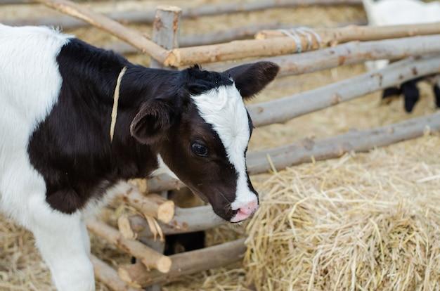 Piccola mucca