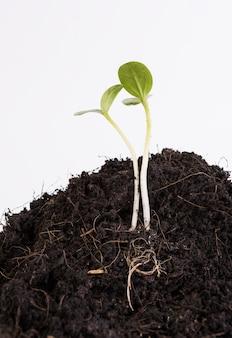 Piccola pianta che cresce dal suolo isolato su sfondo bianco, agricoltura