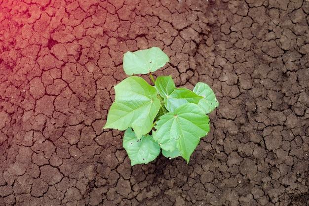 Piccola pianta di cotone in crescita