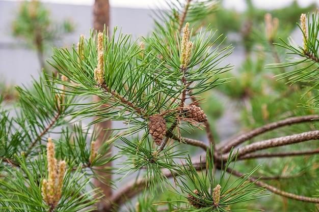 Piccola pigna e giovani germogli sul ramo di pino verde
