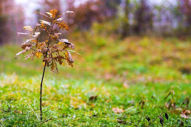Piccola quercia con foglie gialle in autunno