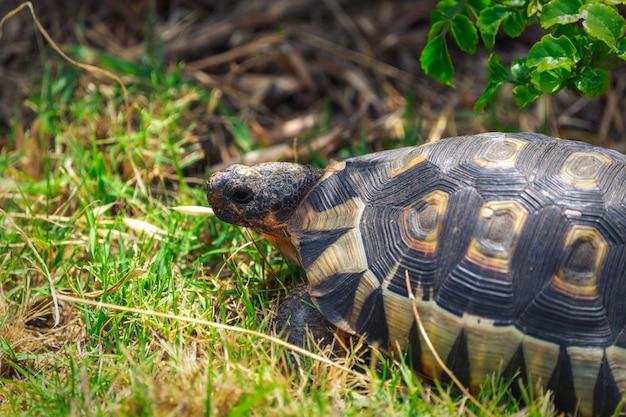 Piccola tartaruga nella vista del primo piano dell'erba nel sudafrica