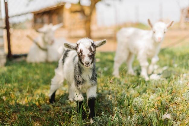 Piccole capre in bianco e nero che mangiano erba sull'azienda agricola della campagna
