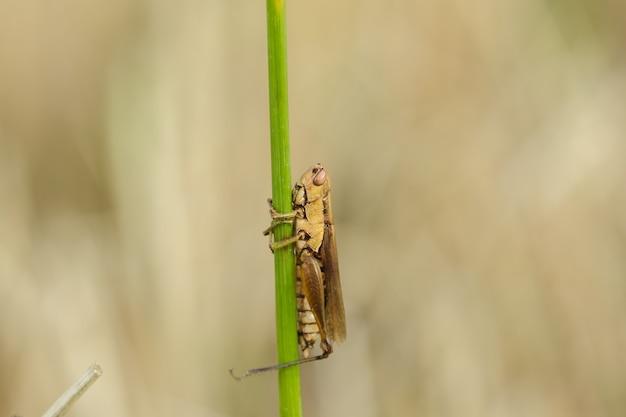 Piccole cavallette sulla pianta di riso in natura