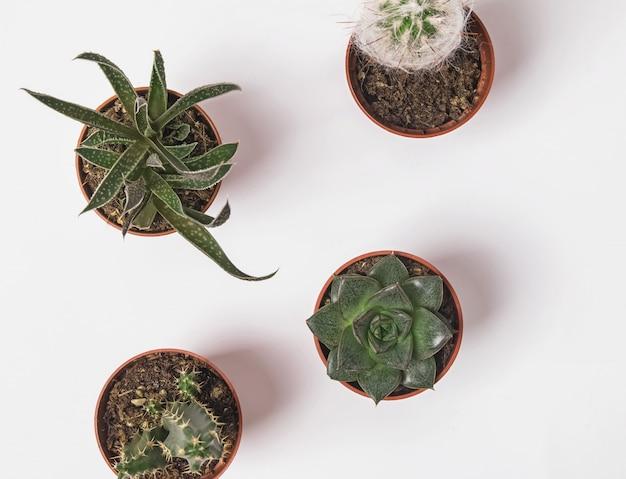 Piccole piante grasse in vaso sul backround bianco