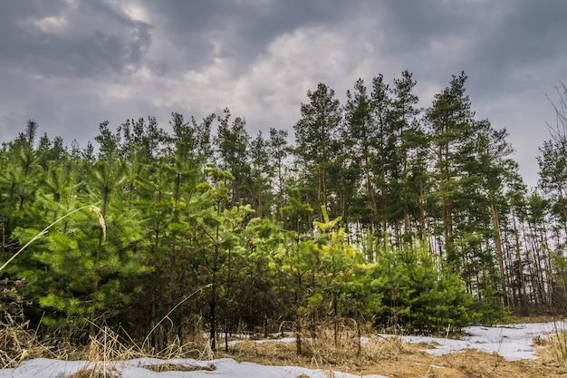 Piccoli alberi di abete rosso
