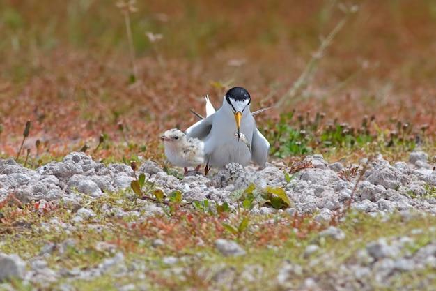 Piccoli albifrons di sternula della sterna che alimentano gli uccelli di bambino