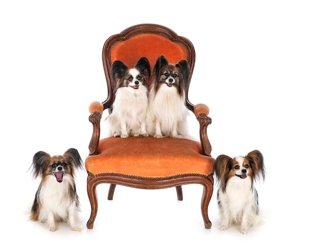 Piccoli cani sulla sedia davanti a sfondo bianco