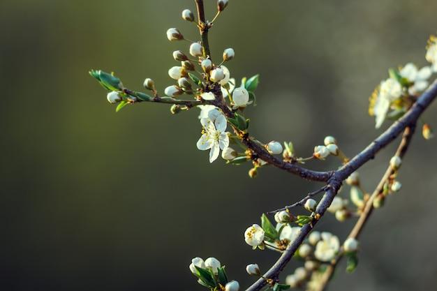 Piccoli e semplici fiori di ciliegio in primavera. fiore di ciliegio, ciliegio, gemma, profondità di campo.