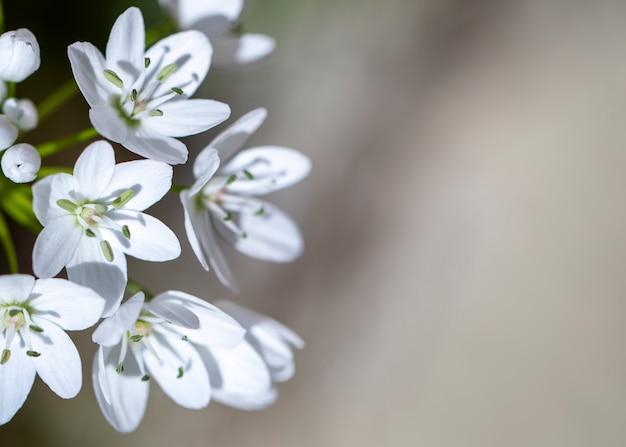 Piccoli fiori bianchi primavera su uno sfondo sfocato