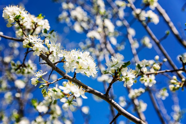 Piccoli fiori bianchi su un albero. susino di fioritura su una parete di cielo blu. avvicinamento.