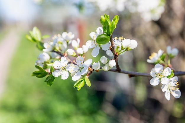 Piccoli fiori bianchi su un albero. susino in fiore. avvicinamento.