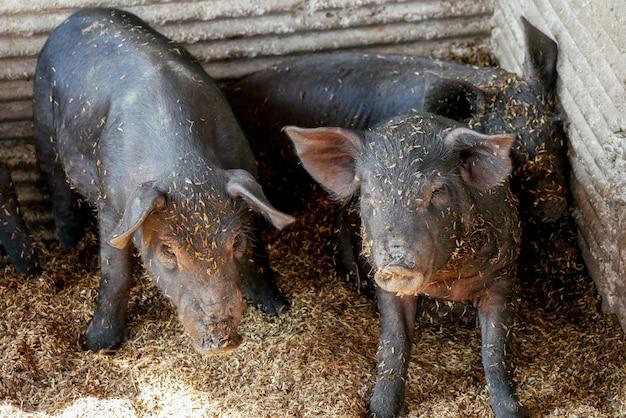 Piccoli maiali neri in fattoria