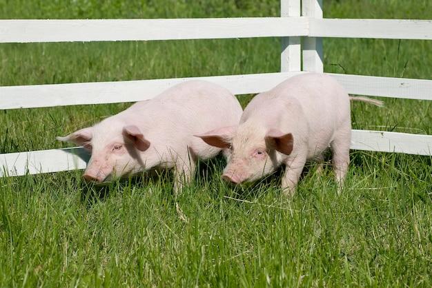 Piccoli maiali sull'erba