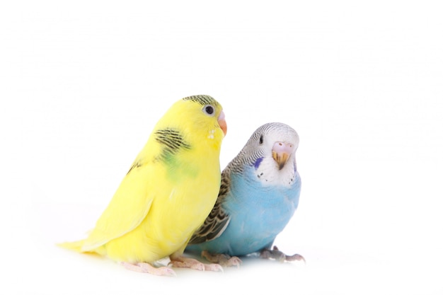 Piccoli pappagallini gialli e blu isolati su fondo bianco
