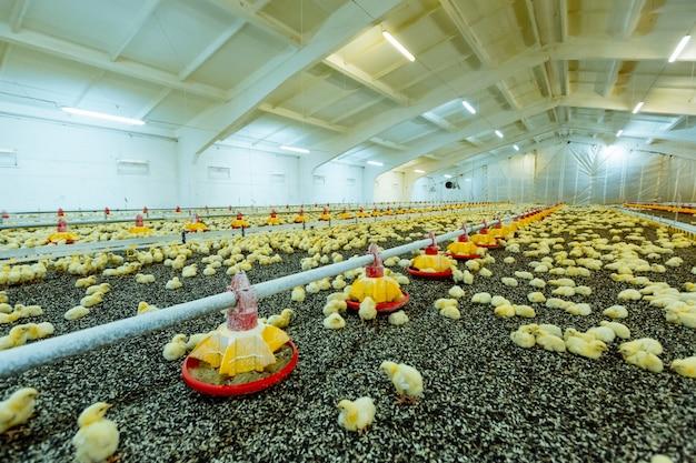 Piccoli pulcini gialli in fattoria stretta, temperatura e controllo della luce. allevamento di polli al chiuso, alimentazione per polli.