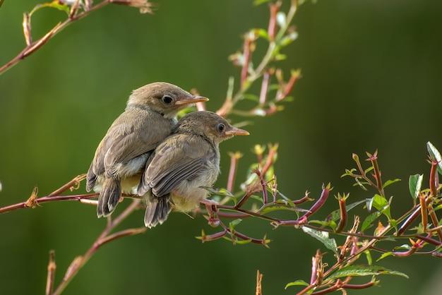 Piccoli uccelli di canto sul ramo di un albero