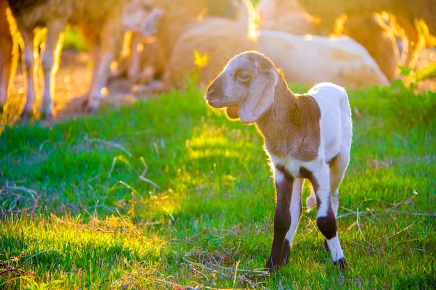 Piccolo agnello carino in allevamento di pecore