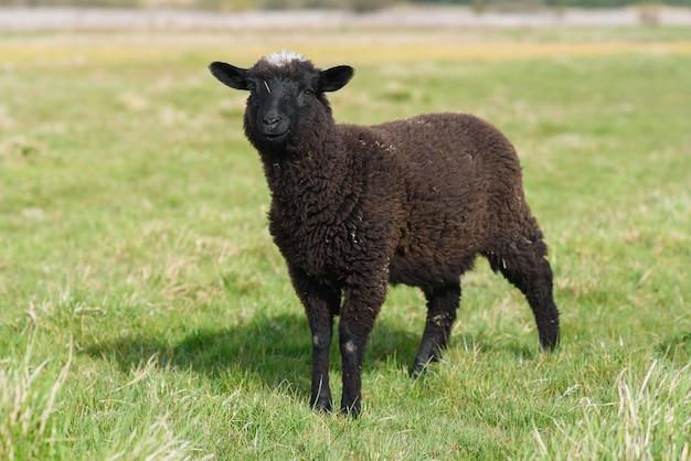 Piccolo agnello nero che pasce sul prato sull'isola di madeira.