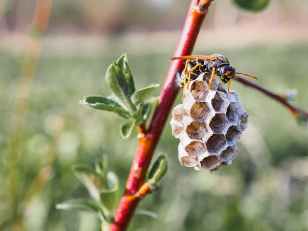 Piccolo alveare di vespe su un ramo