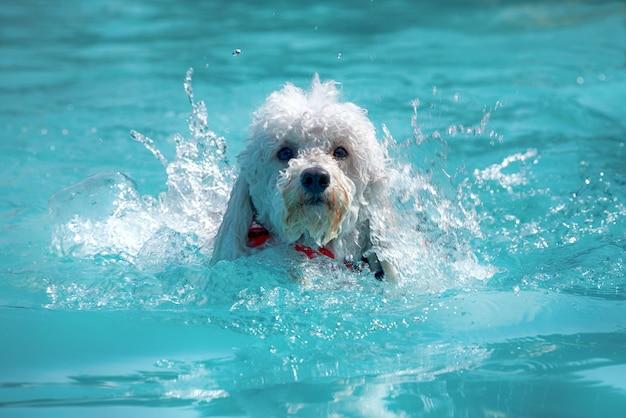 Piccolo barboncino bianco felice che nuota in uno stagno