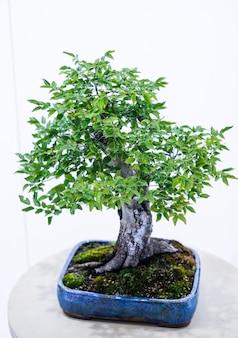 Piccolo bonsai in vaso