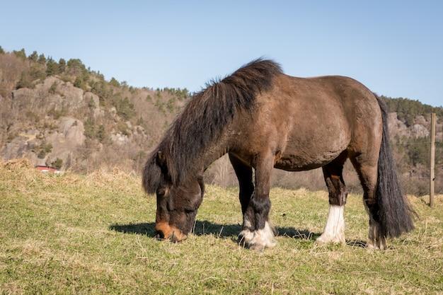 Piccolo brown pony grazing su un campo in primavera